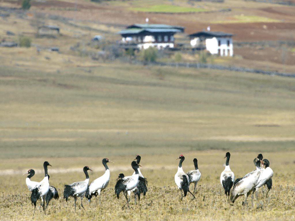 Black Necked Crane Bhutan