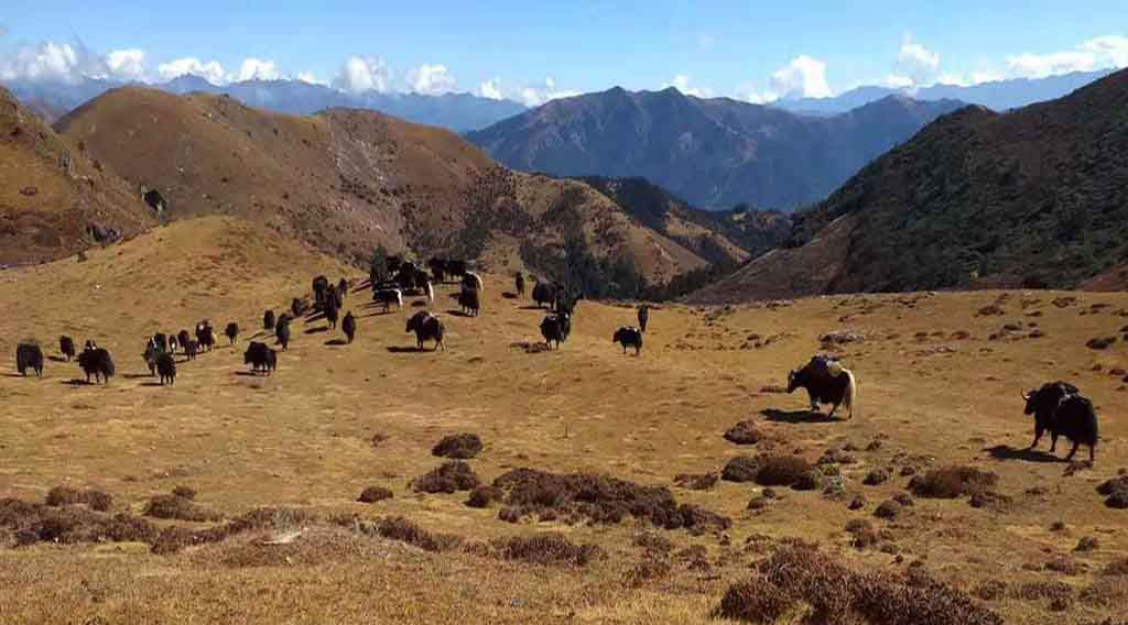 The Grazing of Yaks