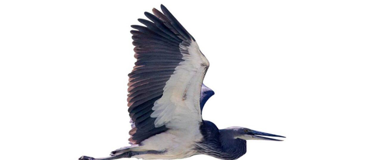 White Bellied Heron in flight